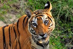 DSC_3176 (ajwhitehead1979) Tags: bengaltiger bhandavgarh india royalbengaltiger tiger