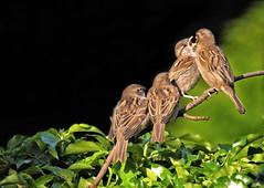 Join the queue! (Ruth S Hart) Tags: birds family dunnock prunellamodularis sparrow mother feeding nikond300 four ruthshart