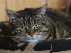 A new camera, how ..... exciting ! (FocusPocus Photography) Tags: cleo katze feline cat chat gato tabby tier animal haustier pet