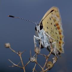 DSCF0278 (faki_) Tags: fuji fujifilm xe1 fujinonxf60mmf24rmacro 60 24 rovar insect lepke butterfly