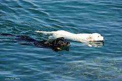 Blanc i negre (Enllasez - Enric LLa) Tags: gos gossos perros mar 2016