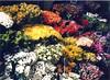 flowers for sale (sftrajan) Tags: paris flores primavera yellow blumen 1999 fiori printemps flowermarket bloemen springtime frankrike цветы paryż 巴黎 パリ paříž france1999 париж