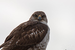 A Ferruginous Hawk gives a stare
