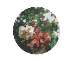 15 (Florencia Toloza Fotografa) Tags: naturaleza flores experimental circular doble exposicin