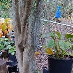 Trunk of large camellia sasanqua with a couple of hosta showing thumbnail
