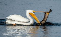 A matter of survival (richarde2812) Tags: bird pelican cormorant survival predation contraloma speciesinteraction ebparksok