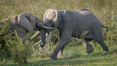 2014 Kenya Masi Mara-672 (jkardysphotos) Tags: africa elephant nikon kenya masaimara bullelephants