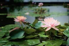 Lotus Pond No.3 (ShotoPhoto) Tags: flower water thailand hotel pond lily lotus bangkok lilies fujifilm sukhothai xt1 xf1855mm