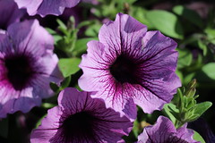 Pretty Purple Petunia (Digital_Third_Eye) Tags: flowers flower green nature closeup wisconsin canon outdoors purple madison veins petunia 650d