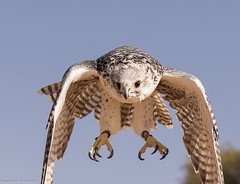 8Q2A1141_DxO (maskirovka77) Tags: dubai desert hunting beak raptor owl falcon hood sharjah unitedarabemirates falcons raptors avian barnowl hunt birdsofprey lure birdofprey falconry talons natureconservancy stooping falconeer peregrinefalcon gyrfalcon pergrine falconexperience alshuwaib arabiandeserteagleowl royalshaheen clawsarabiandeserteagleowldubainatureconservancypergrineraptorsroyalshaheenbirdofpreybirdsofpreyfalconfalconexperiencefalconsowlraptoralshuwaibsharjahunitedarabemirates