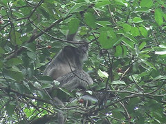 Silvered Langur at Bako