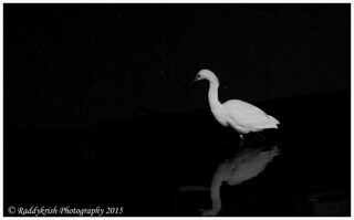 Snowy Egret in Dark