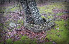 Flucht aus der Kanalisation (langkawi) Tags: trees moss ukraine manhole birches chernobyl ukraina tschernobyl birken pripyat pripjat
