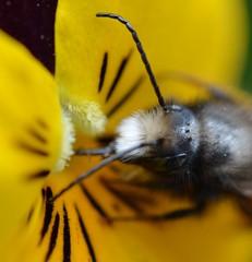 bumble bee, drinking (bionerd23 ) Tags: flower macro eye insect compound fluffy bee honey unit osmia cornuta ommatidia