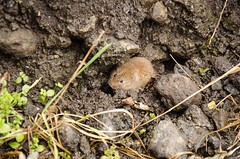 Field Vole (keith.gallie) Tags: sea west rising high tide north salt marsh vole peninsula wirral parkgate fieldvole