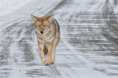 Eye Level (dbushue) Tags: road coyote winter snow nature landscape nikon scenery wildlife january yellowstonenationalpark wyoming trickster ynp 2014 songdog specanimal dailynaturetnc14 photoofthedaynwf14 dailynaturetnc15 photoofthedaynwf15