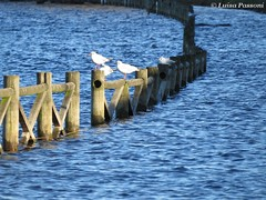Flood (LuisaLuisa) Tags: italy milan fence italia flood path milano gulls alluvione sentiero gabbiani pathway brugherio recinto allagamento parcoincrea increapark floodedpathway sentieroallagato