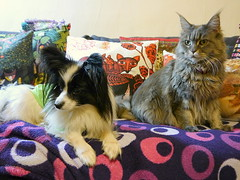 Sofa Loafers, Charlie and Breeze, 21 Feb 15 (Castaway in Scotland) Tags: blue dog pet cute animal cat silver grey scotland tabby gray maine adorable kitty east papillon coon lothian musselburgh