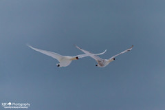 Pair Of Flying Swans Against A Blue Sky (R3D_Photography) Tags: blue wild sky white birds flying wings wildlife flight swans extended graceful pai necks r3dphotography raysheleyiii