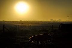 Proyecto mi casa (Todo lo que las hojas traen) Tags: argentina sunrise pig buenosaires amanecer campo cerdo chancho
