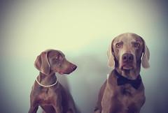 2/12 All Cleaned Up *(Explore 2/27/15 - #452)* (burtonrocks) Tags: dog pet beautiful puppy handsome dressup weimaraner louie lexi weim loudog applessisters littledoglaughedstories lexdog 12monthsfordogs15