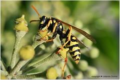 Franzsische Feldwespe (Jolanda Donn) Tags: fauna flora insekt canoneos350d gelbschwarz polistesdominulus faunaundflora faltenwespe franzsischefeldwespe