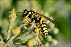 Französische Feldwespe (Jolanda Donné) Tags: fauna flora insekt canoneos350d gelbschwarz polistesdominulus faunaundflora faltenwespe französischefeldwespe
