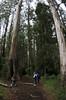 Mountain Ash, Sherbrook Forest (buberfan) Tags: zenitar16mmf28 pentaxk5