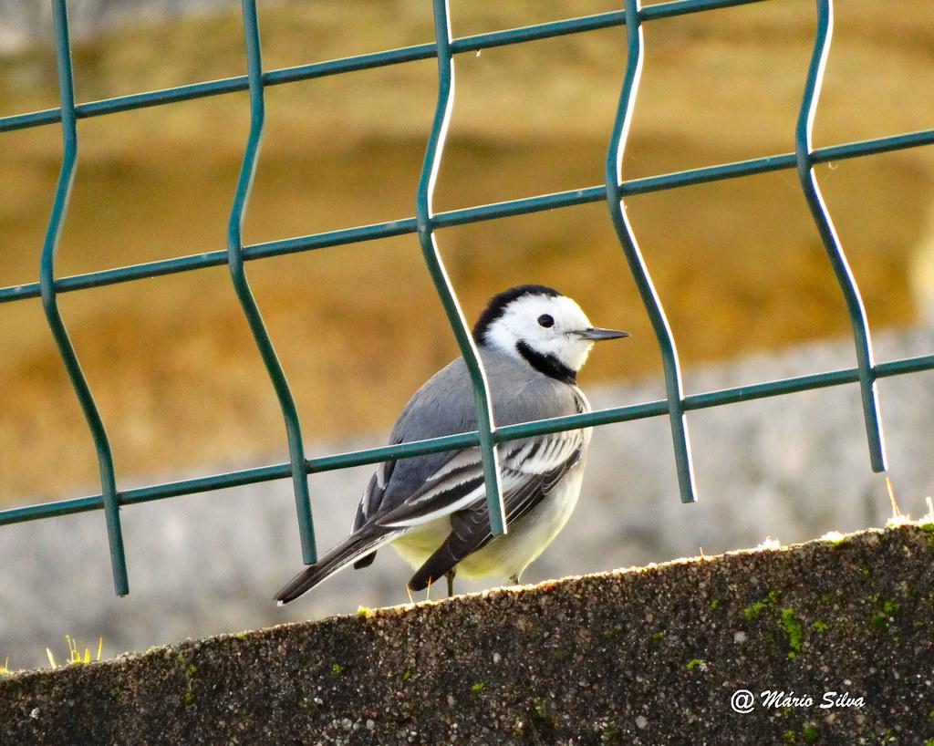 Águas Frias (Chaves) - ... pássaro, em liberdade, visto através das grades ...