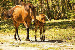 Mare and Foal (Beegee49) Tags: wild horses horse nature animal mare philippines 1001nights equine foal 1001nightsmagiccity