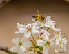 Photo of Bees and Bradford Pear 8