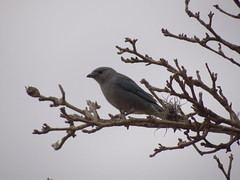 DSC05012 Sanhao-Azul (familiapratta) Tags: bird nature birds brasil iso100 sony natureza pssaro aves pssaros novaodessa novaodessasp hx100v dschx100v