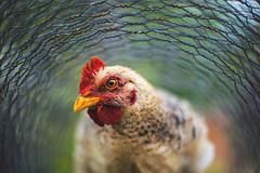Wired Up. (ThePhotographersRepublic) Tags: chicken animal bird flightless wire chickenwire bokeh eye nature animan romania feathers shallowdepthoffield canonfd50mmf14 sony a7r