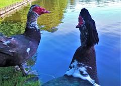 Hey sweetheart (Mado AwaD) Tags: outdoor birds water park belgium belgie vogel duck eend ma mado