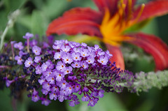Garden Fiesta DSL9668 (iloleo) Tags: colourful flowers dof garden nikond7000 butterflybush daylily summer nature red purple