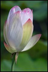 Water Lotus II (Nelumbo Nucifera) (hej_pk / Philip) Tags: flora nikon sony blommor kwangju gwangju linnaean nelumbonucifera sydkorea nikcolorefex waterlotus nikonseriese75150mmf35 sonya5000 vattenlotus e75150mm