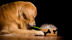 Bubble Bubble Toil and Trouble (bztraining) Tags: dogchal henry odc bzdogs bztraining golden retriever 3662016