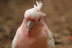 Leadbeater's Cockatoo (charliejb) Tags: holiday bird cornwall beak feathers parrot cockatoo avian feathered 2016 leadbeaterscockatoo