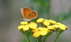 Lycaena phlaeas (Ivo Novk) Tags: macro lepidoptera