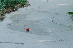 Disney's Animal Kingdom - Cardinal (jrozwado) Tags: northamerica usa florida waltdisneyworld animalkingdom bird cardinal wildlife