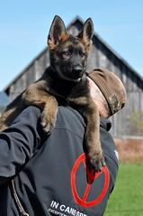 GSD Kal (IN CANIS SPERAMUS) Tags: germanshepherd servicedog dog dogtraining puppy
