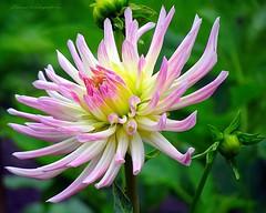 Flowers in Israel (jackfre2) Tags: israel flowers parks gardens roses dahlias digitalis