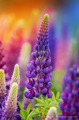 Rainbow of colors - Lupines (ratulm) Tags: lupines colors flower dof bokeh spring grand teton