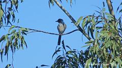 California Scrub-Jay (Aphelocoma californica) (youngwarrior) Tags: westernscrubjay californiascrubjay aphelocomacalifornica bird corvid valleycenter california blue