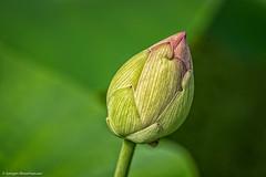 DSC02990.jpg (J.Weyerhuser) Tags: botanischergarten nik dof lotus flower
