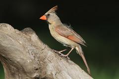 Northern Cardinal, female (AllHarts) Tags: femalenortherncardinal backyardbirds memphistn naturescarousel