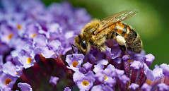 a lot of work (Simple_Sight) Tags: bee biene garden garten schmetterlingsflieder buddleja ngc npc macro closeup insect outdoors flower