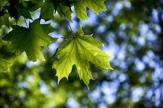 Maple Leaf (HDR) (chernatsky.artem) Tags: nikon d90 outdoors kornin ukraine maple leaf hdr
