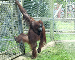 I need the TV commentary to name the Orang (vic_sf49) Tags: vicsf49 uk england dorset monkeyworld cronin