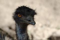 Kasur (KubaFej) Tags: zoo prague cassowary bird nikon d7000 jupiter 37a